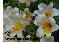 Asiatic Daylily