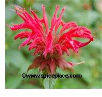 Red Bee Balm (monarda)
